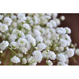 White Gypsophila - Seeds