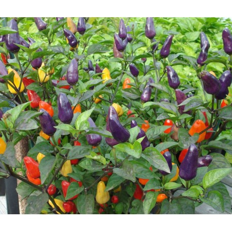 Purple Prince Chilli Pepper - Seeds