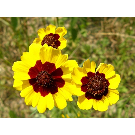 Coreopsis / Tickseed - Seeds