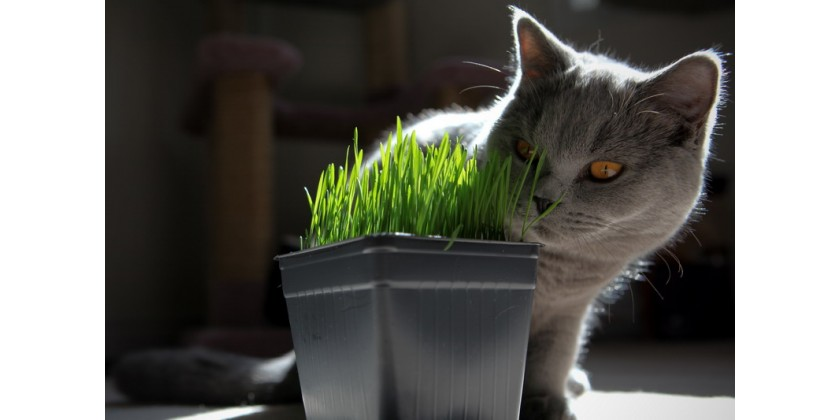 How to plant cat grass ?